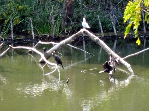 Cormorants with gull at the North Pond (Credit: Celia Place)