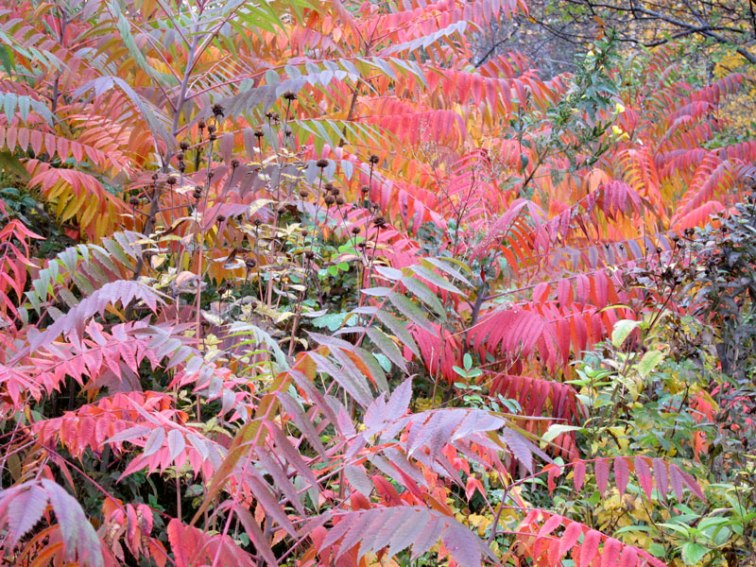 Sumac and other native plants around the Lily Pond (Credit: Celia Her City)