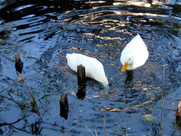 White ducks I (Credit: Celia Her City)