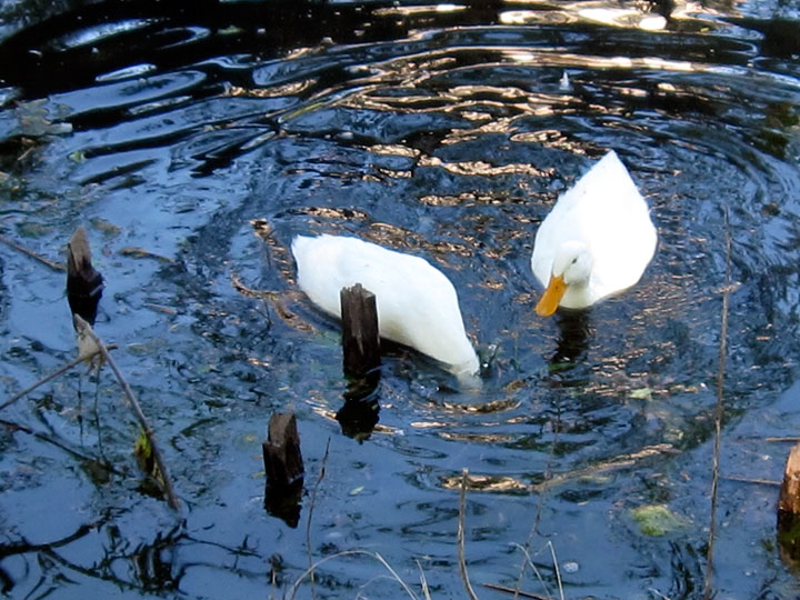 White ducks I (Credit: Celia Her City)