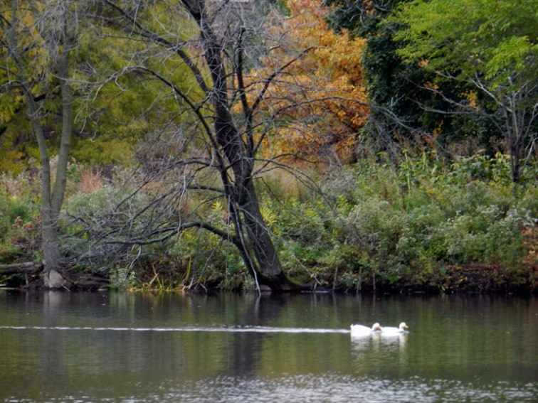 White ducks on the North Pond, October 2012 (Credit: Celia Her City)