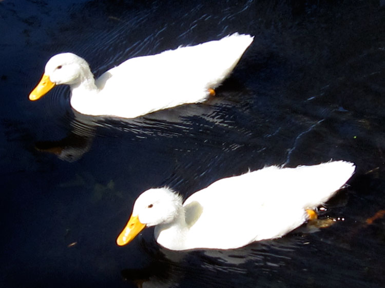 White ducks II (Credit: Celia Her City)