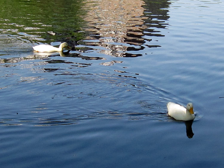 White ducks III (Credit: Celia Her City)