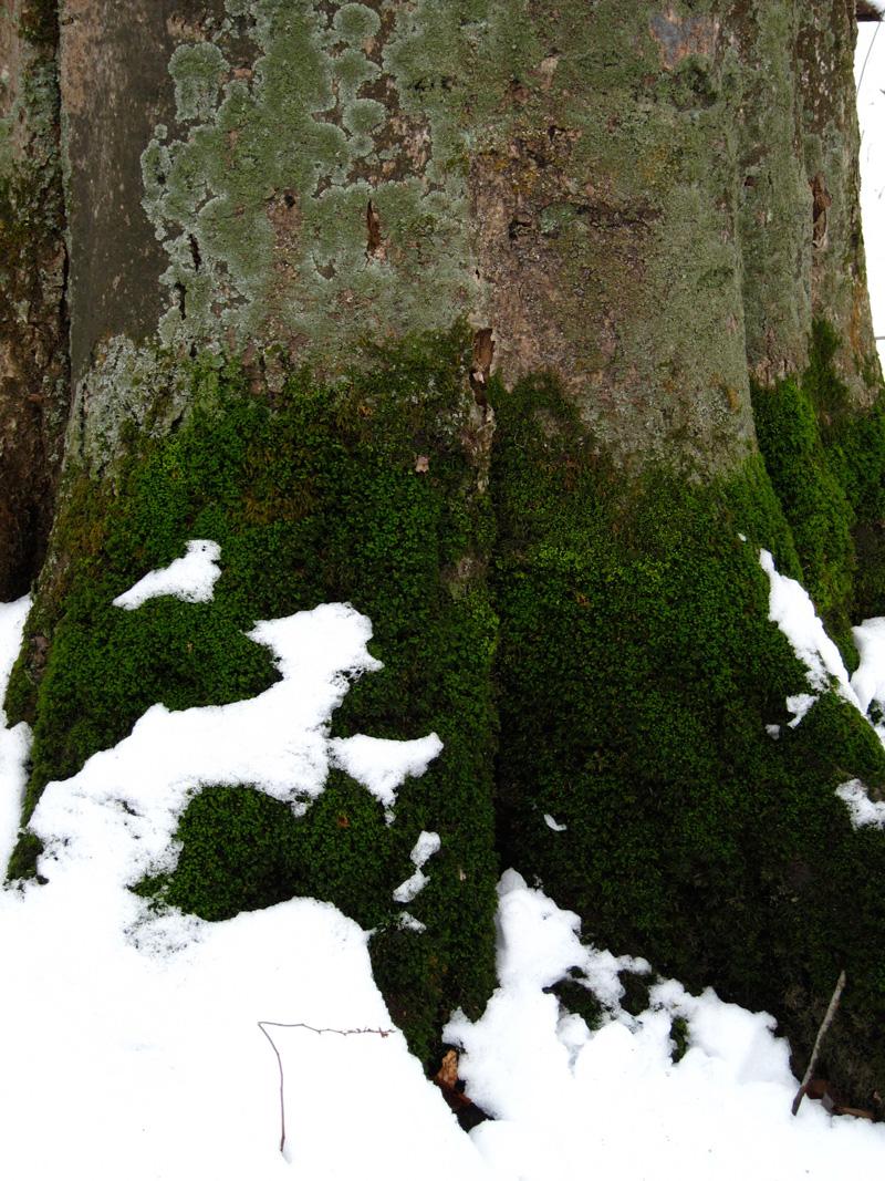 Mossy trunk in the Warren Woods (Credit: Celia Her City)