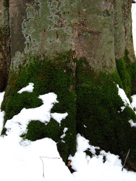 Mossy trunk in the Warren Woods (Credit: Celia Her City)