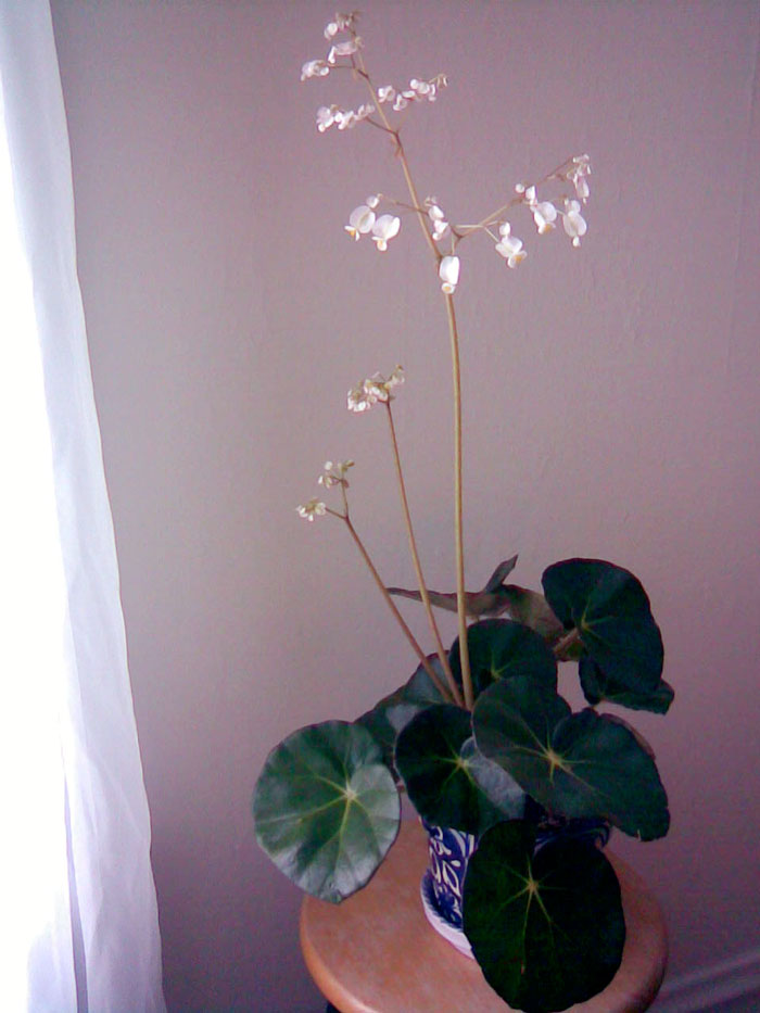 Beefsteak begonia in bloom, February 2009, © 2013 Celia Her City