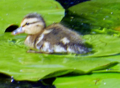 Duckling phase, © 2013 Celia Her City