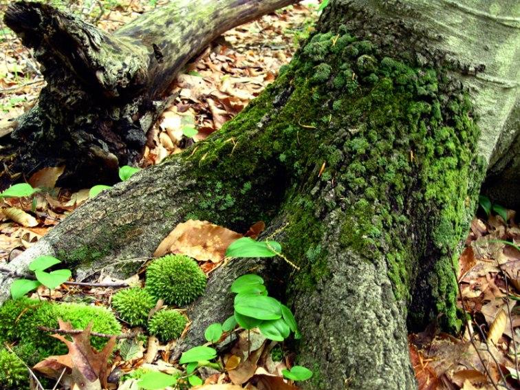 Mossy tree, © 2013 Celia Her City