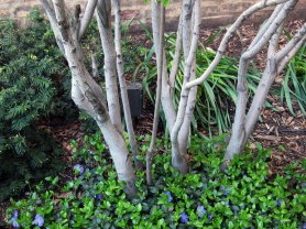 The bark of the serviceberry looks good with vinca © 2013 Celia Her City
