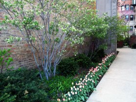Serviceberry and tulips, © 2013 Celia Her City